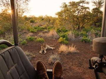 Löwin während Safari - Copyright South Africa