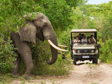 Krüger Nationalpark Elefant tritt vor Safari-Auto; Copyright South Africa