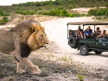 Löwe im Krüger Nationalpark - Copyright South Africa
