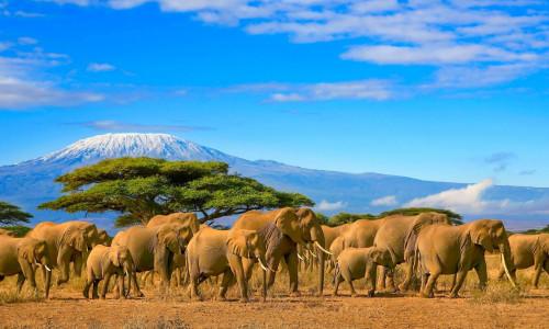 Elefantenherde Safari Kilimanjaro