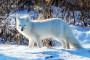 Polarfuchs ©Travel Manitoba